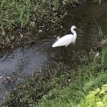 玉川上水と白鷺